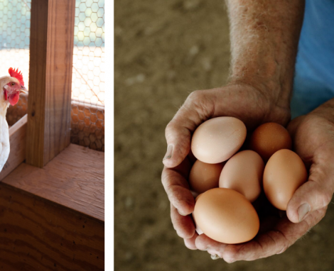 Which Came First – The Chicken or the Egg?