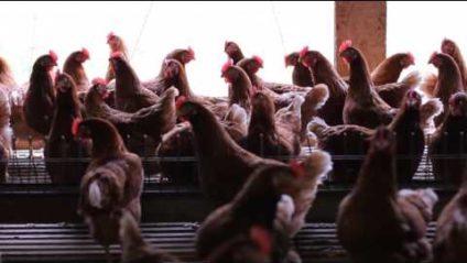 NC Egg Farmers